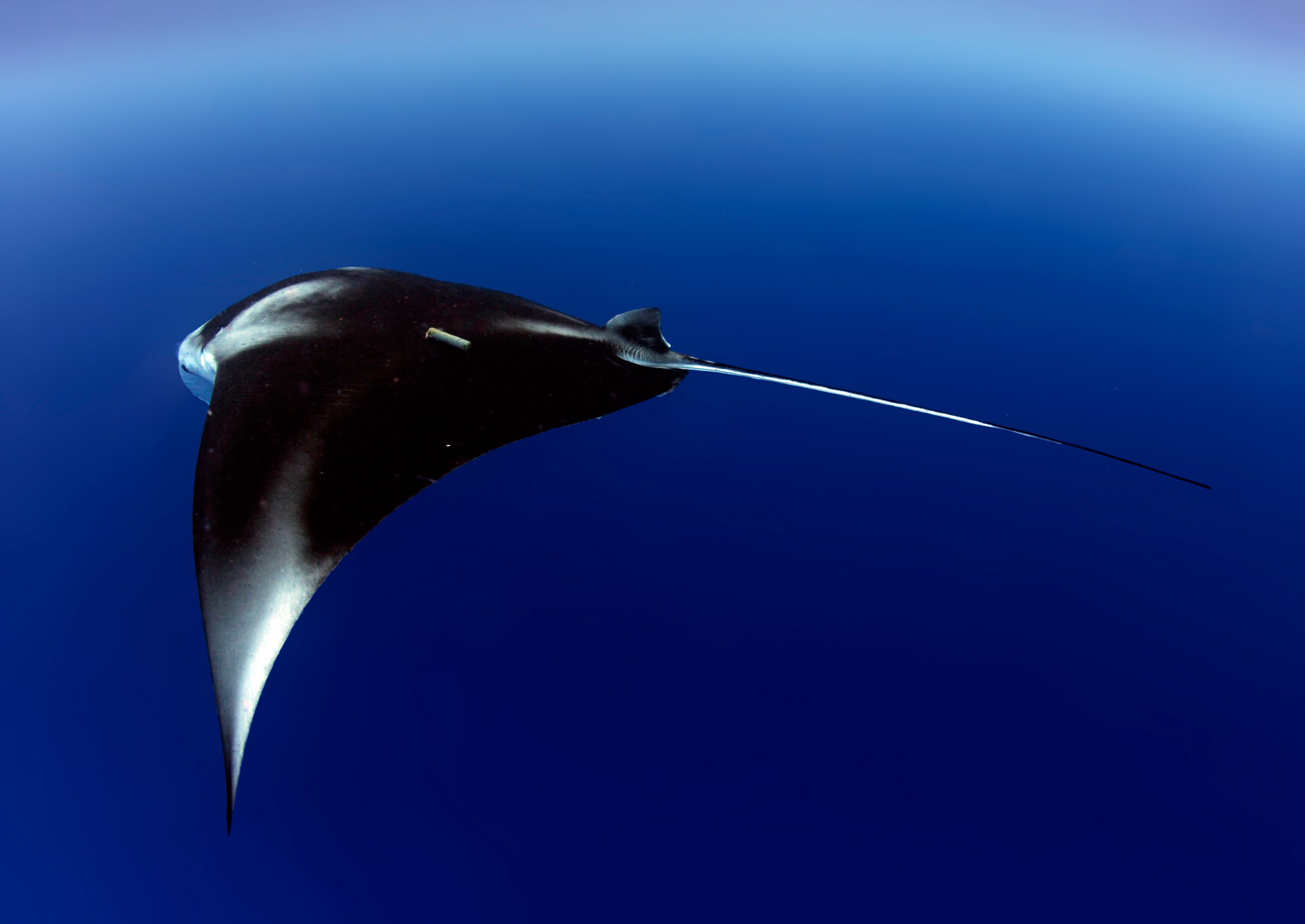 An acoustically tagged reef manta ray. Photo by Guy Stevens | © Manta Trust