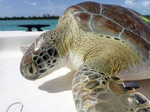 GILLISanthony_turtlecowboy