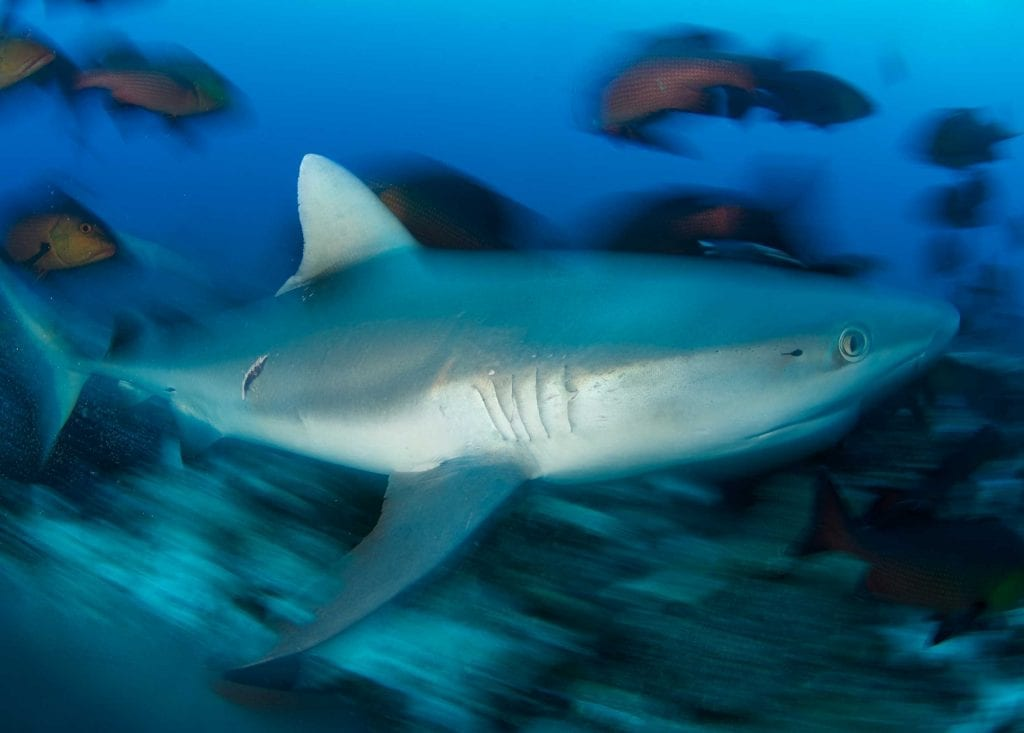 Skittish grey reef sharks are the wardens of the reef. Torpedo-shaped and monochrome, they are regularly encountered patrolling around D'Arros Island.