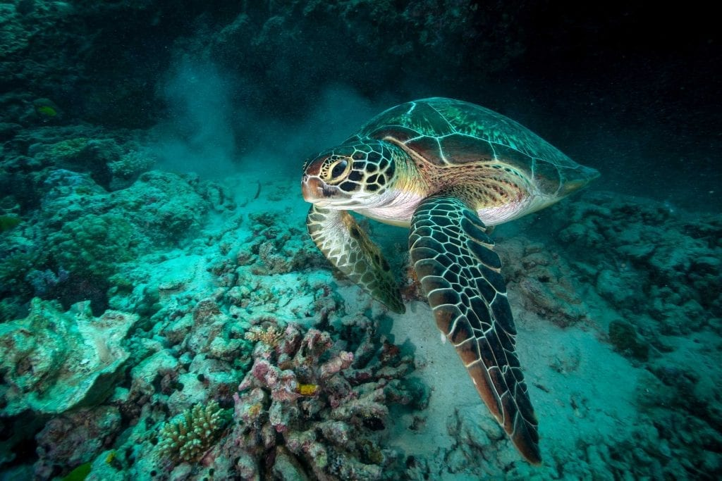 In the past, thousands of green turtles were killed and exported from the Seychelles for turtle soup. They received full protection in 1994 and the new reserve will provide them with an important haven.