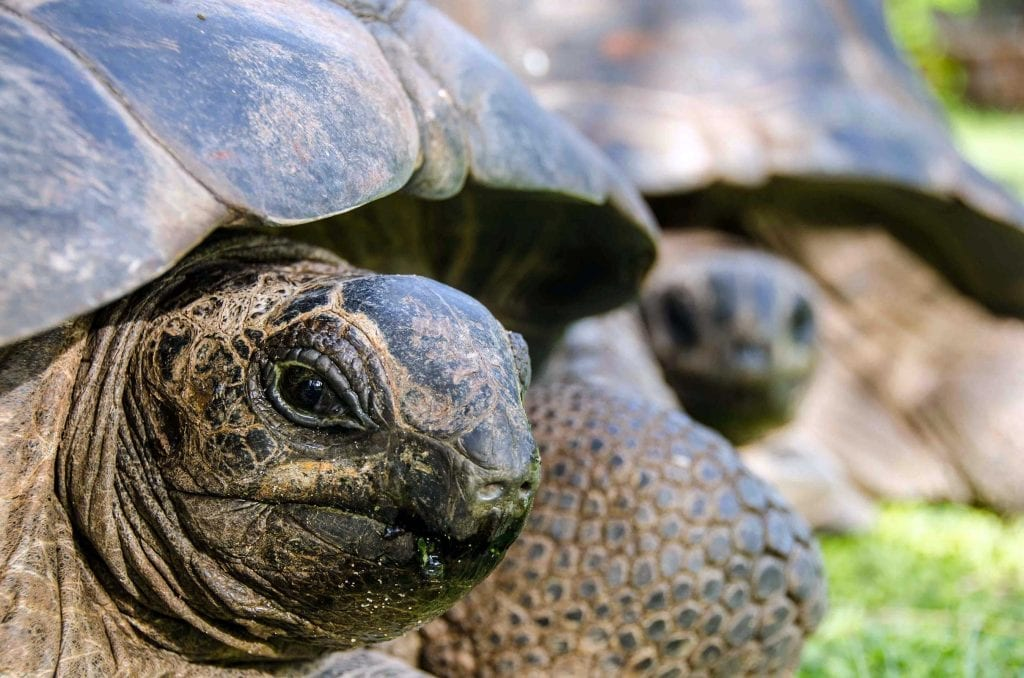 Aldabra giant tortoises are endemic to the islands of the Seychelles. These placid creatures represent one of only two remaining species of giant tortoise that survive in the wild. D'Arros is home to a breeding population of about 30 animals.