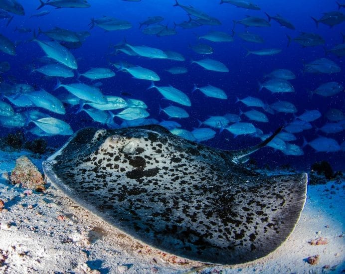 A mangrove stingray rests on the bottom while trevallies school in the background. Photo by Byron Dilkes | Danah Divers