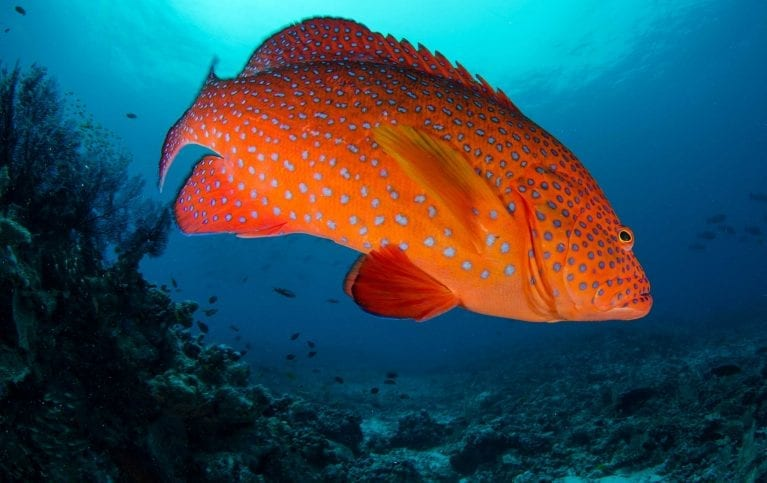 A red grouper glares at the camera.