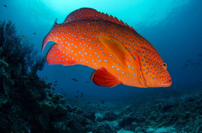 A red grouper glares at the camera. Photo by Byron Dilkes | Danah Divers