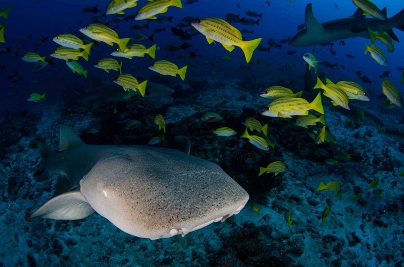 Tawny nurse sharks, along with various other species, are abundant at D'Arros' reef. Photo by Byron Dilkes | Danah Divers
