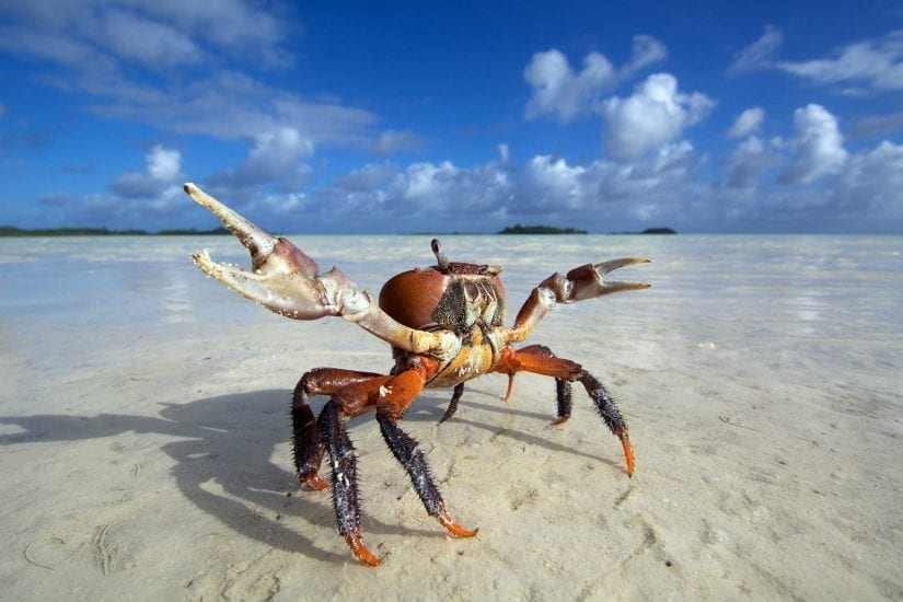 A one-eyed land crab prowls the sand flats at low tide. Thousands scuttle around at the atoll. Photo by Rainer von Brandis | © Save Our Seas Foundation