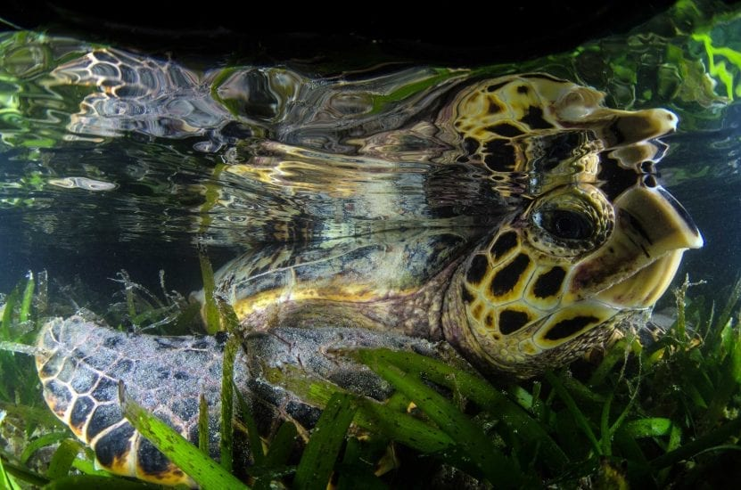 An endangered hawksbill turtle rests in the sea grass at St Joseph Atoll. Unlike green turtles, hawksbills eat sponges rather than sea grass. Photo by Byron Dilkes | Danah Divers