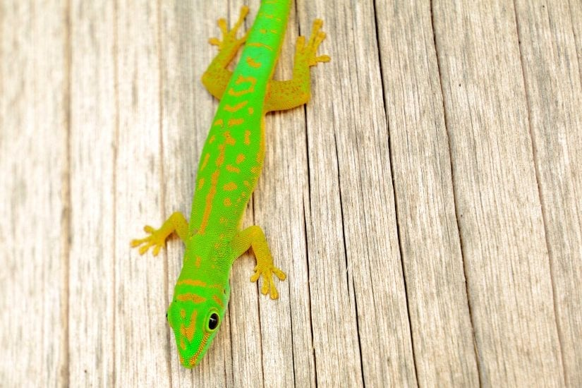 Green geckos are common throughout the islands, especially at night, when they can be found near lights stalking prey. Photo by Philippa Ehrlich | © Save Our Seas Foundation