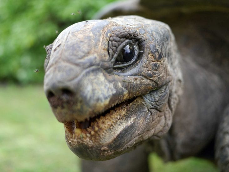 Petit Four, the largest of the giant Aldabra tortoises on D'Arros, weighs more than 150 kilograms and is over eighty years old. Photo by James Lea | Danah Divers