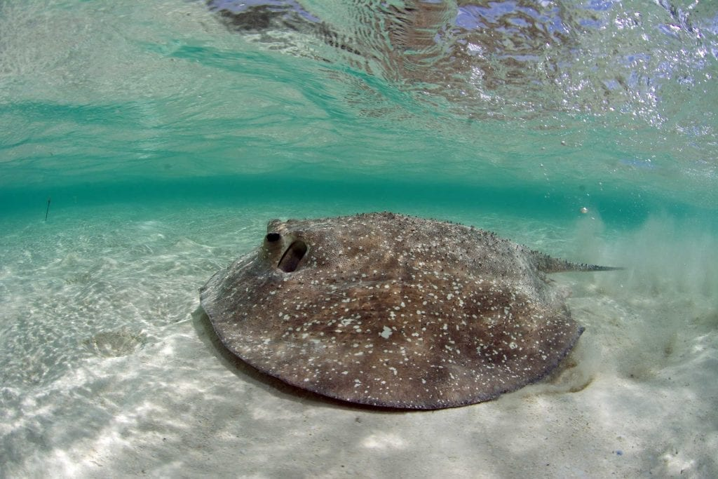 A porcupine ray swims past an acoustic receiver in St Joseph's lagoon, which is home to large populations of feathertail, mangrove and porcupine rays. The SOSF–D'Arros Research Centre is studying how these three stingray species interact and move around the lagoon.