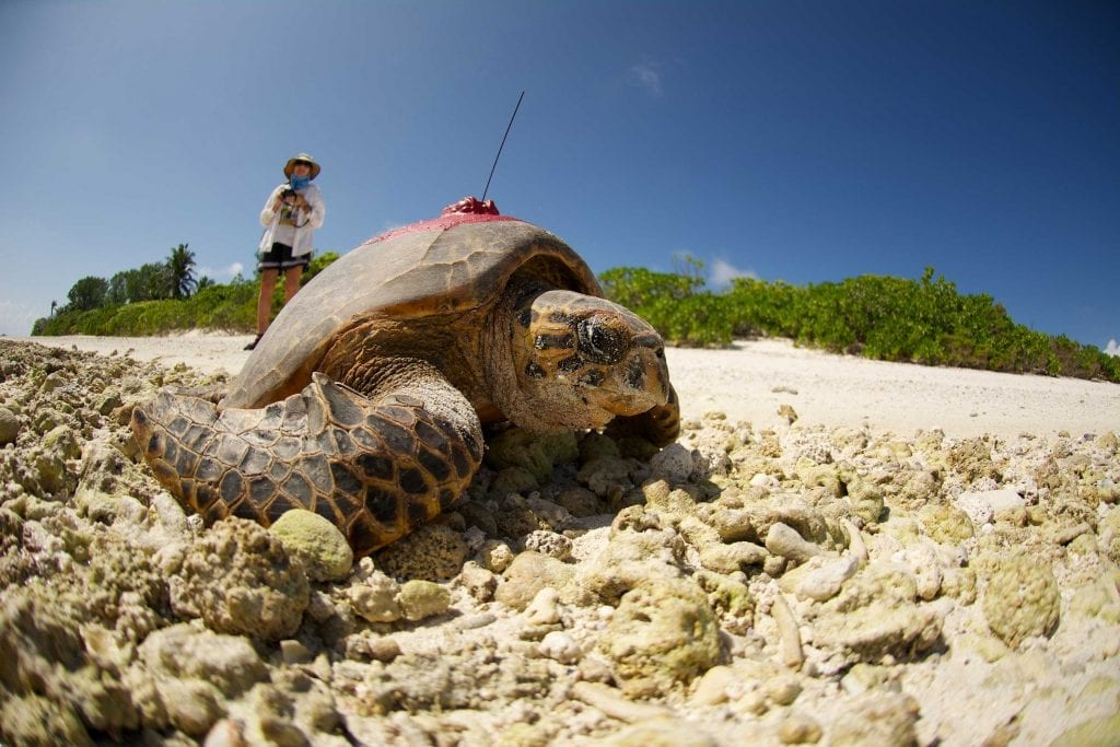 Legendary turtle expert Dr Jeanne Mortimer watches a hawksbill turtle return to the ocean after laying her eggs on one of D'Arros Island's unspoilt beaches. The SOSF–D'Arros Research Centre is using satellite tags to learn where these critically endangered reptiles go to feed.