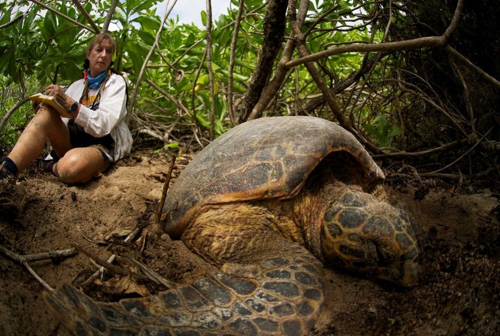 Turtle expert Dr Jeanne Mortimer watches a hawksbill laying her eggs on one of D'Arros Island's unspoilt beaches.