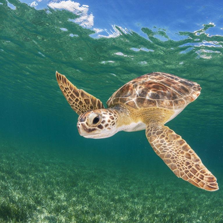 The shark/turtle predator/prey dynamic | Save Our Seas