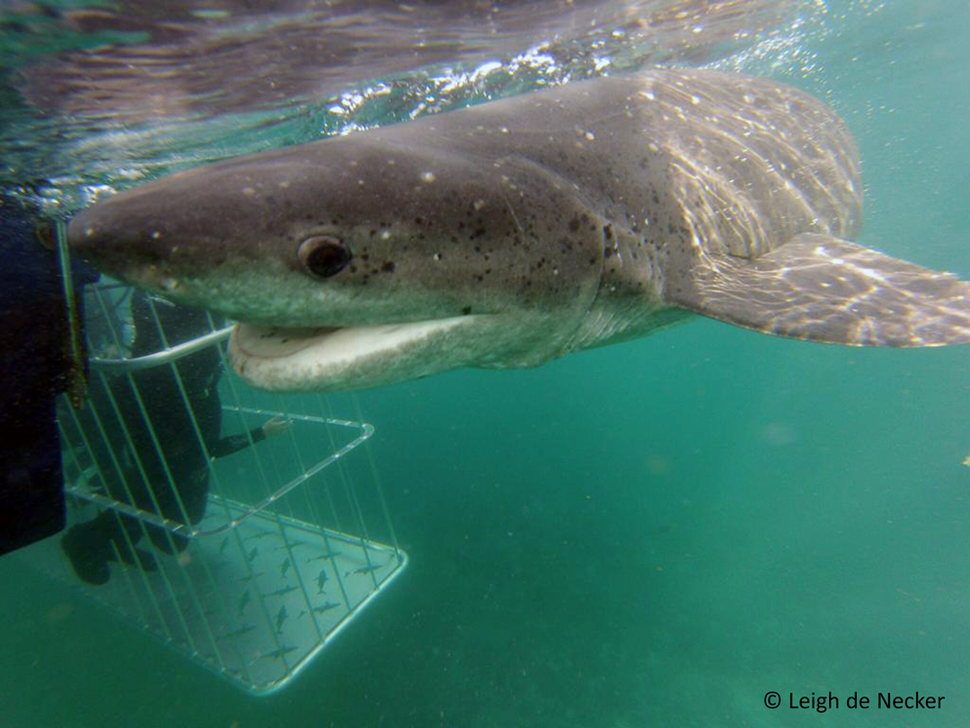 755d0441ecbd Not your everyday sight – a broadnose sevengill shark investigates a cage  full of divers at Seal Island