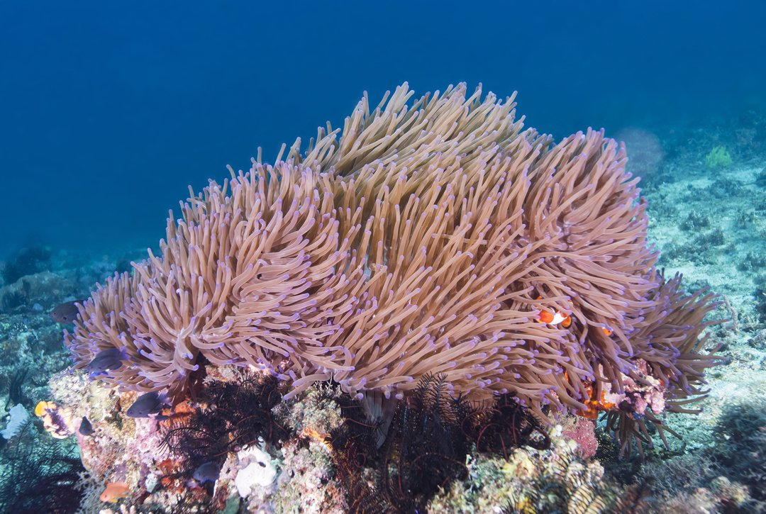 Stressed Sea Anemones Are At Risk From Plastic Microfibres Save Our Seas Foundation