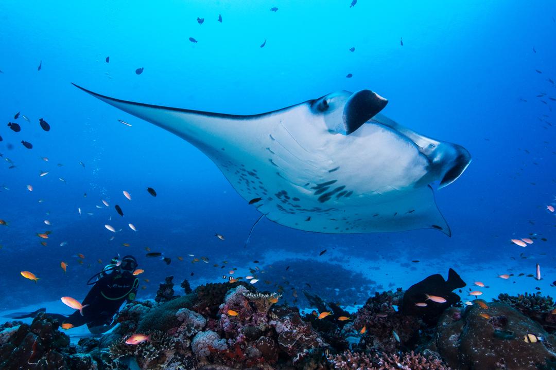 The Grinning Wyrm D&D — Stingrays and a manta ray. I'm ...  |Manta Ray Range