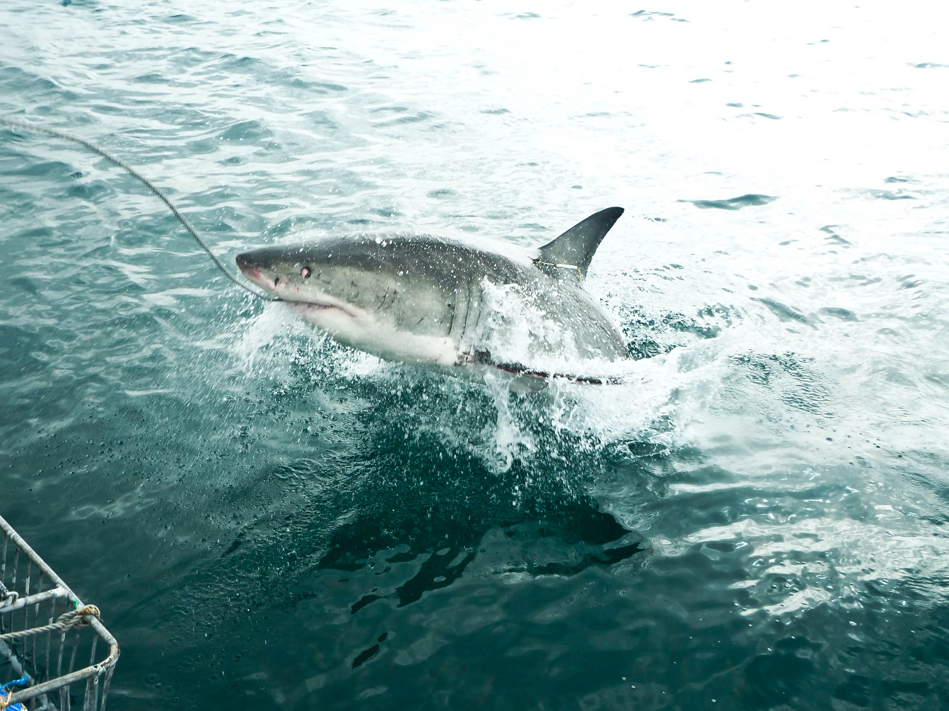 A 3.5 meter white shark breaches the surface and takes the tuna bait during a cage diving trip with White Shark Africa in Mosselbaai, South Africa.
