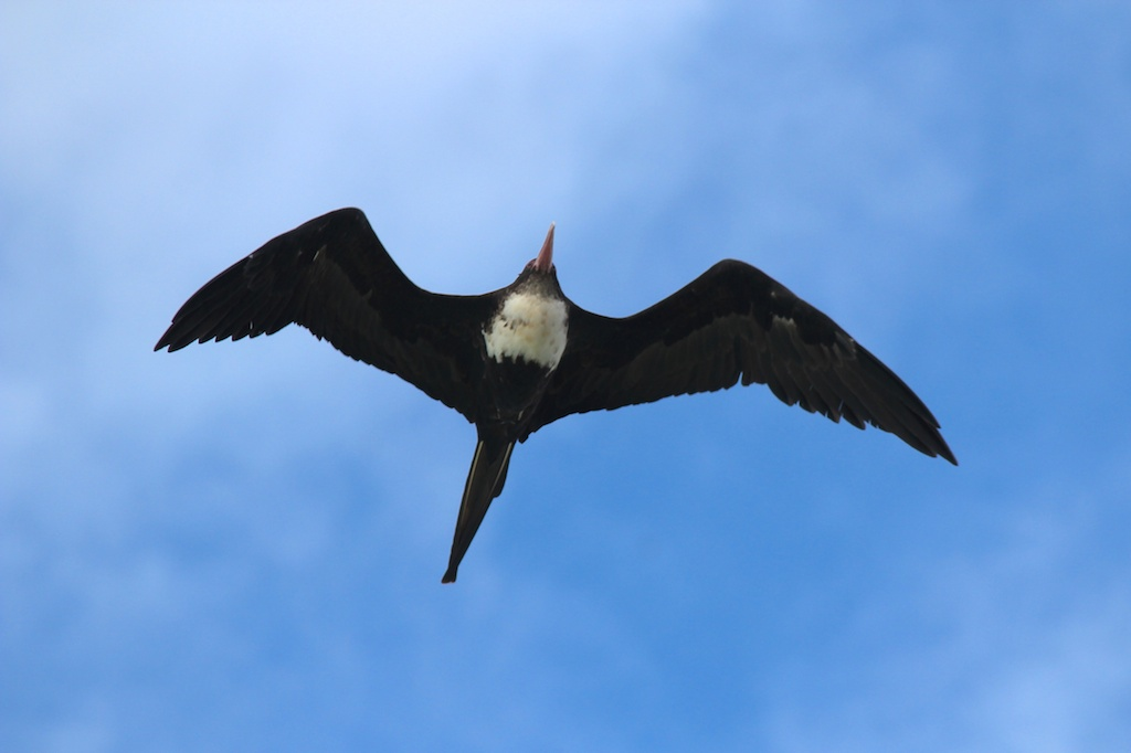 A sub-adult female great frigatebird soars overhead. Photo by Chris Boyes | © Save Our Seas Foundation