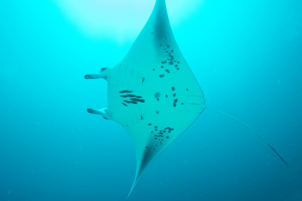 The unique spots on a reef manta ray's belly. Photo by Chris Boyes | © Save Our Seas Foundation