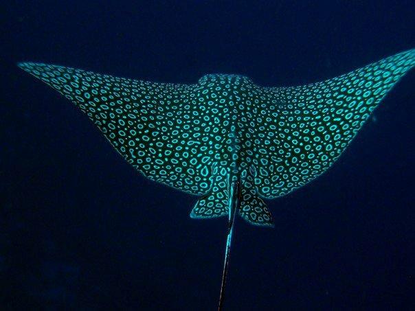 Spotted eagle ray near Cozumel, Mexico. (Photo credit: Ixchel Garcia – Blue Core