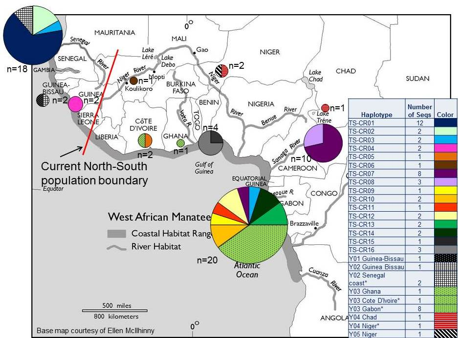 Map of DNA (control region) haplotypes identified in 63 African manatee samples. Sixteen new (solid colors) and five previously published haplotypes (patterns; Vianna et al. 2006) are shown in pie charts. Circle size corresponds to the total number of samples per country, and slices are proportional to haplotypes found (see inset table). Asterisks (*) indicate previously published haplotypes identified at four new locations.