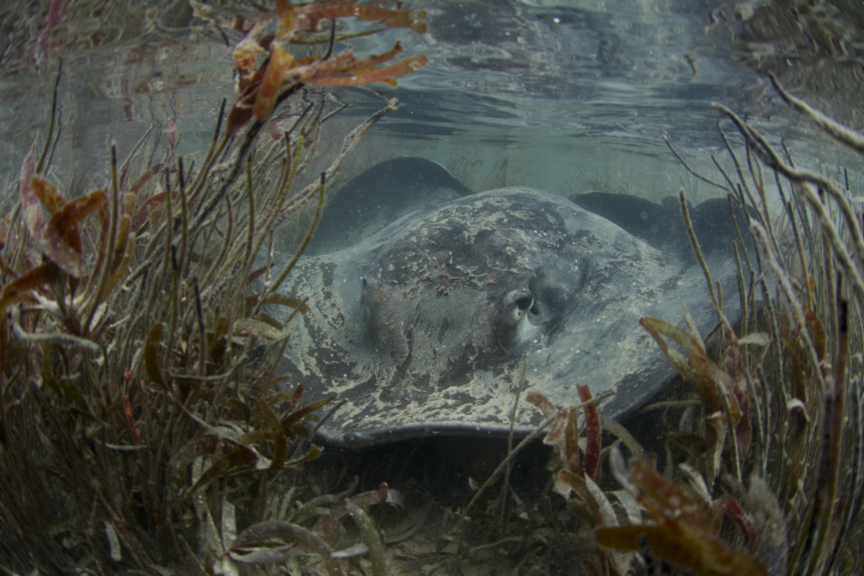 A mangrove ray moving through sea grass. Photo by Rainer von Brandis | Save Our Seas Foundation