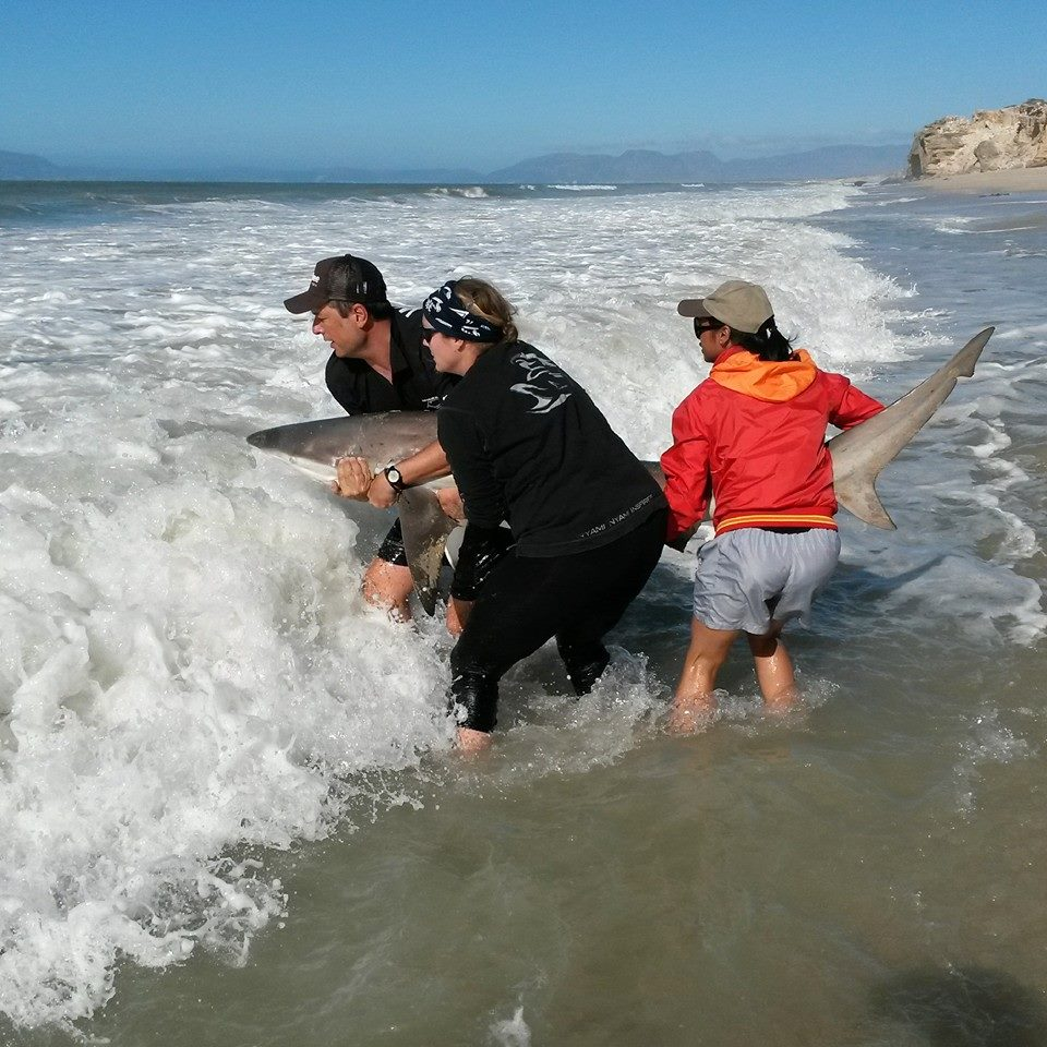 A beautiful Bronze whaler (C. brachyurus) is safely released after tagging