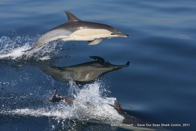 Common dolphin SOSSC