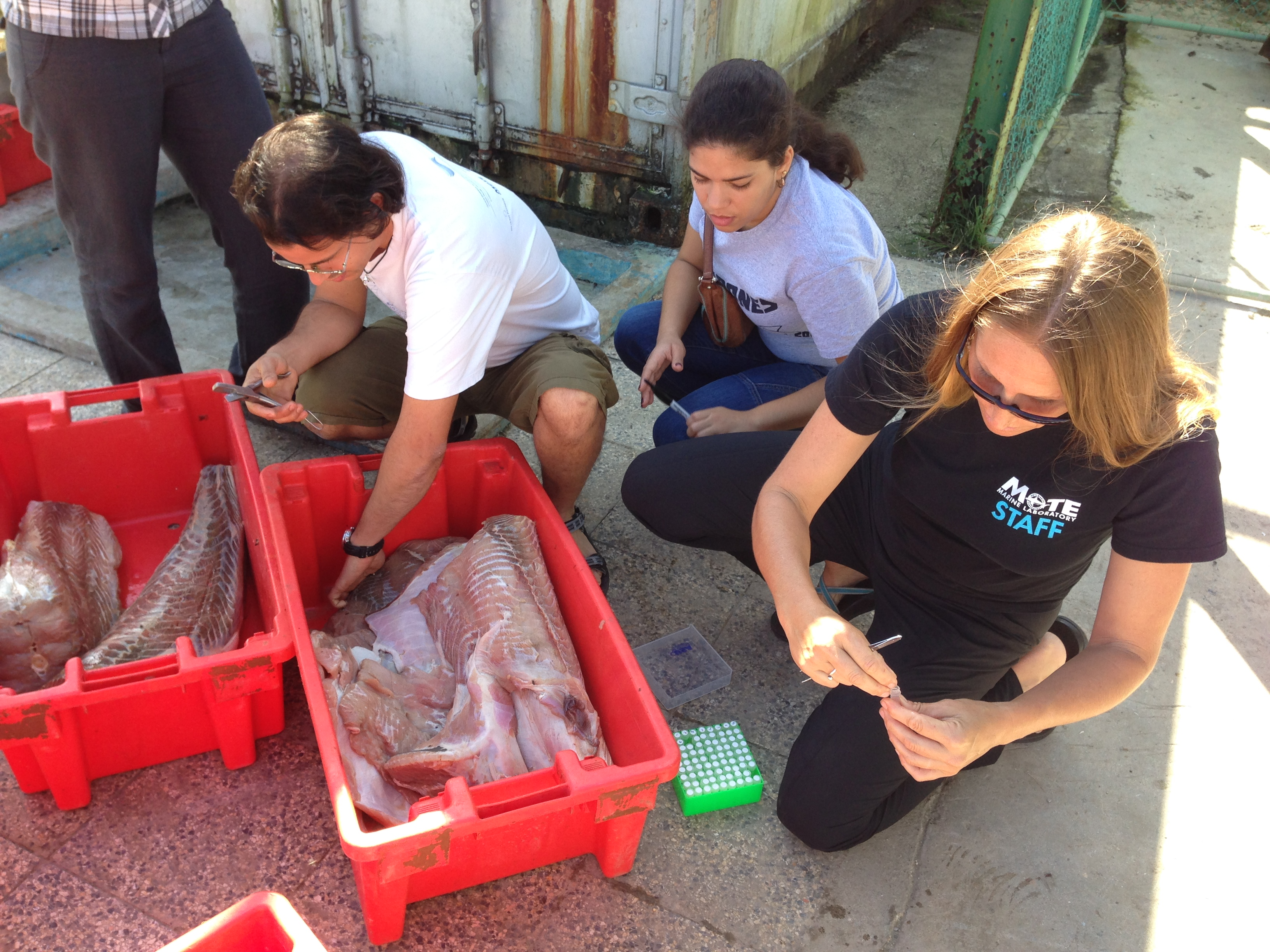 Project PI Kim Bassos-Hull and Cuban colleague Alexei Ruiz (University of Havana's Center for Marine Research) take a genetics sample from a piece of spotted eagle ray pectoral fin at a fishing port along northwest coast of Cuba. Photo credit: Robert Hueter – Mote Marine Lab