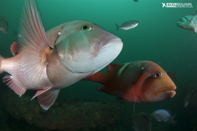 The protection of vulnerable reef fish in the Stilbaai MPA is essential to maintain sustainable fisheries on South Africa's coast - and a healthy ocean ecosystem. Photo: Steve Benjamin.