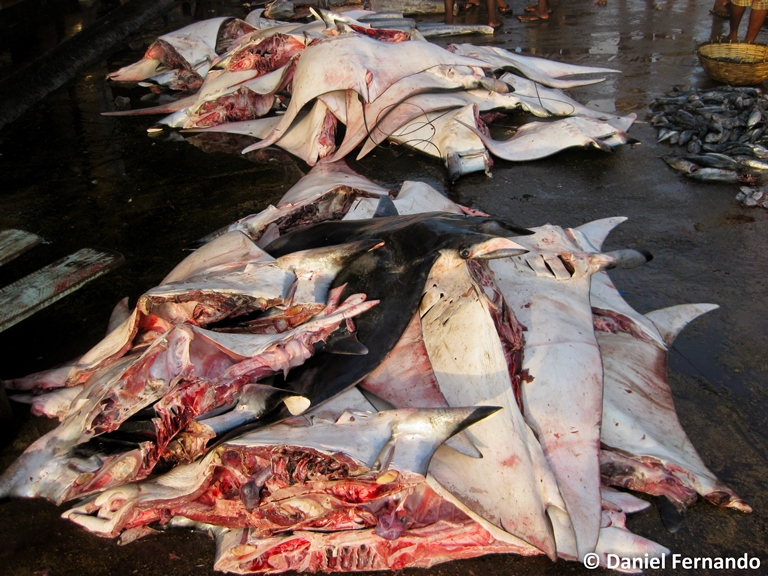 Piles of Mobula