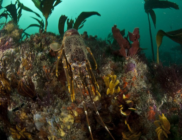 Valued as a resource, fisheries have placed pressure on rock lobster populations for years. Photo courtesy Steve Benjamin.