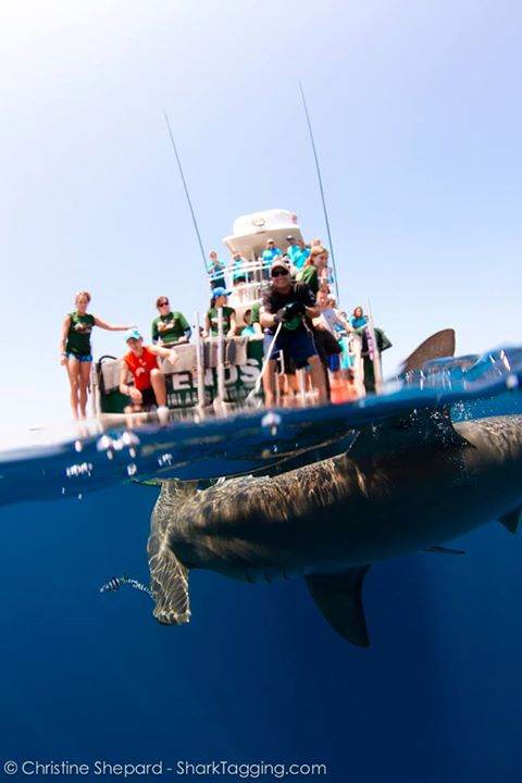 Our team works quickly to bring the hammerhead shark alongside the research vessel.