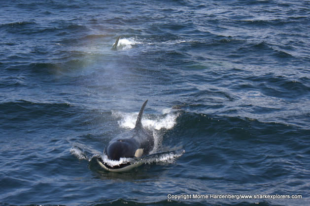 The Orcas swam in our wake for a short while and came to investigate us. Photo © Morne Hardenberg