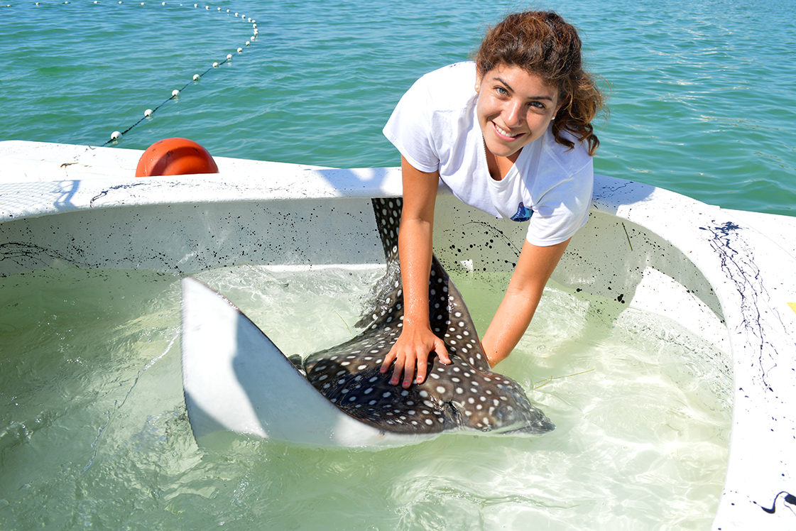 Visiting Mexican colleague Ixchel Garcia (Blue Core) with a spotted eagle ray just prior to release near Sarasota, Florida. Photo credit: Kim Bassos-Hull – Mote Marine Lab