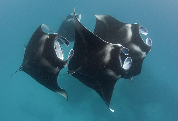 And a last group of Manta Rays