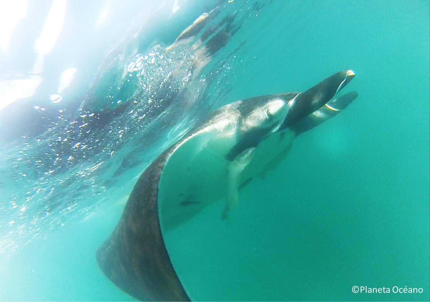 © Planeta Océano – giant manta ray in Zorritos