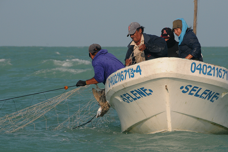 Fishermen near Sebaplaya Mexico pull in a spotted eagle ray for researchers to tag and release. Photo credit: Kim Bassos-Hull – Mote Marine Lab