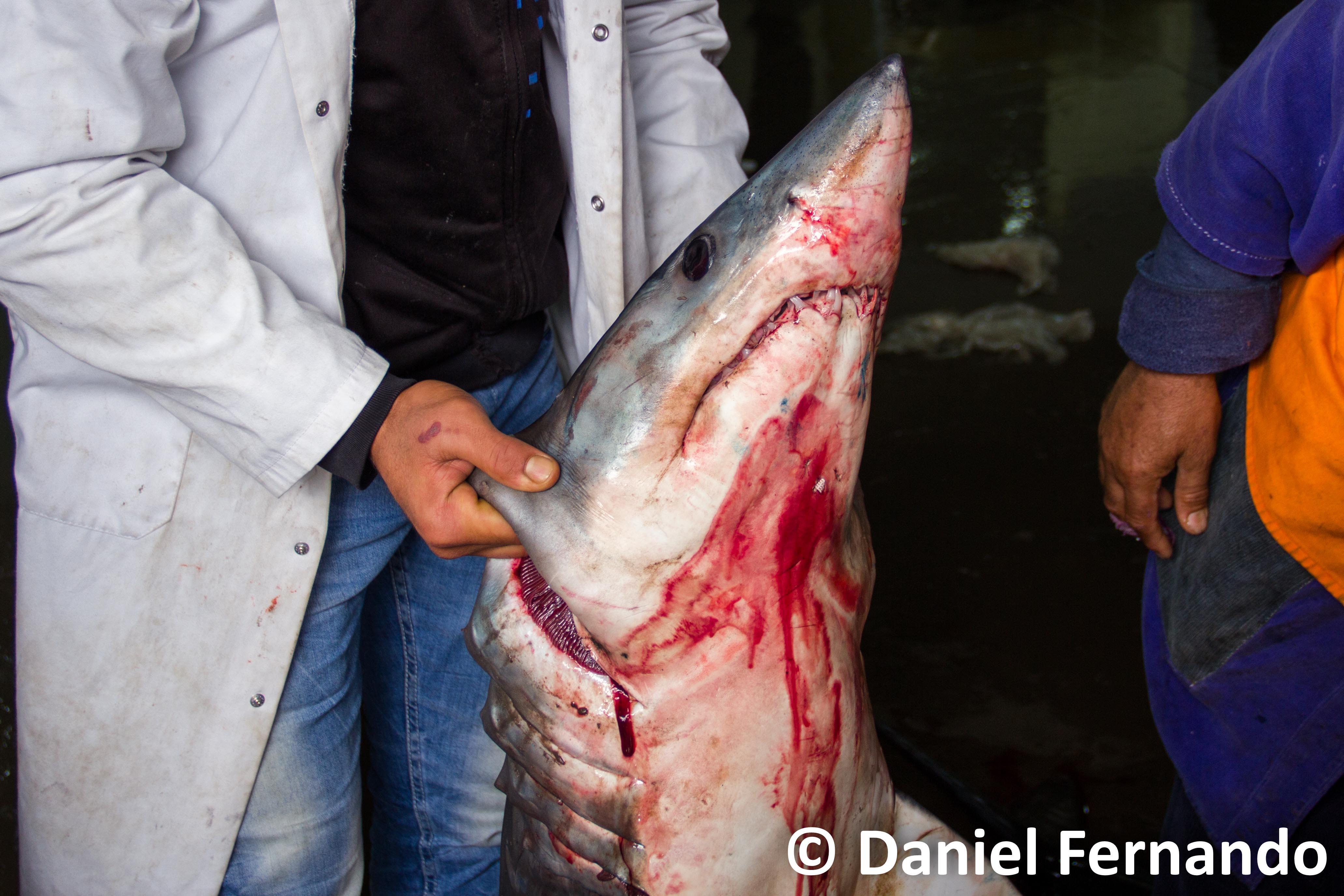 © Daniel Fernando - mako shark