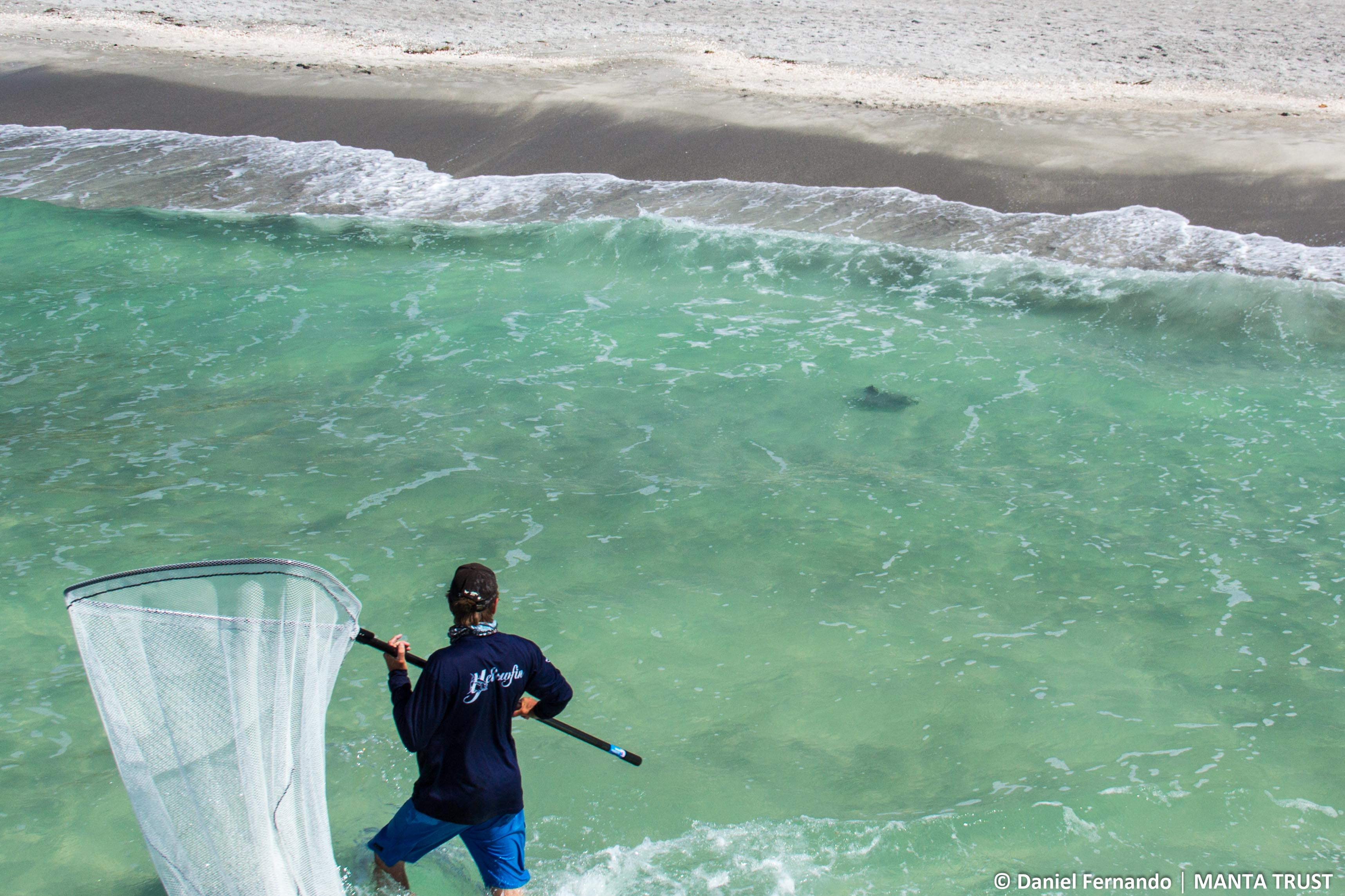 © Daniel Fernando – a researcher attempting to capture a mobula swimming just a few feet off the beach