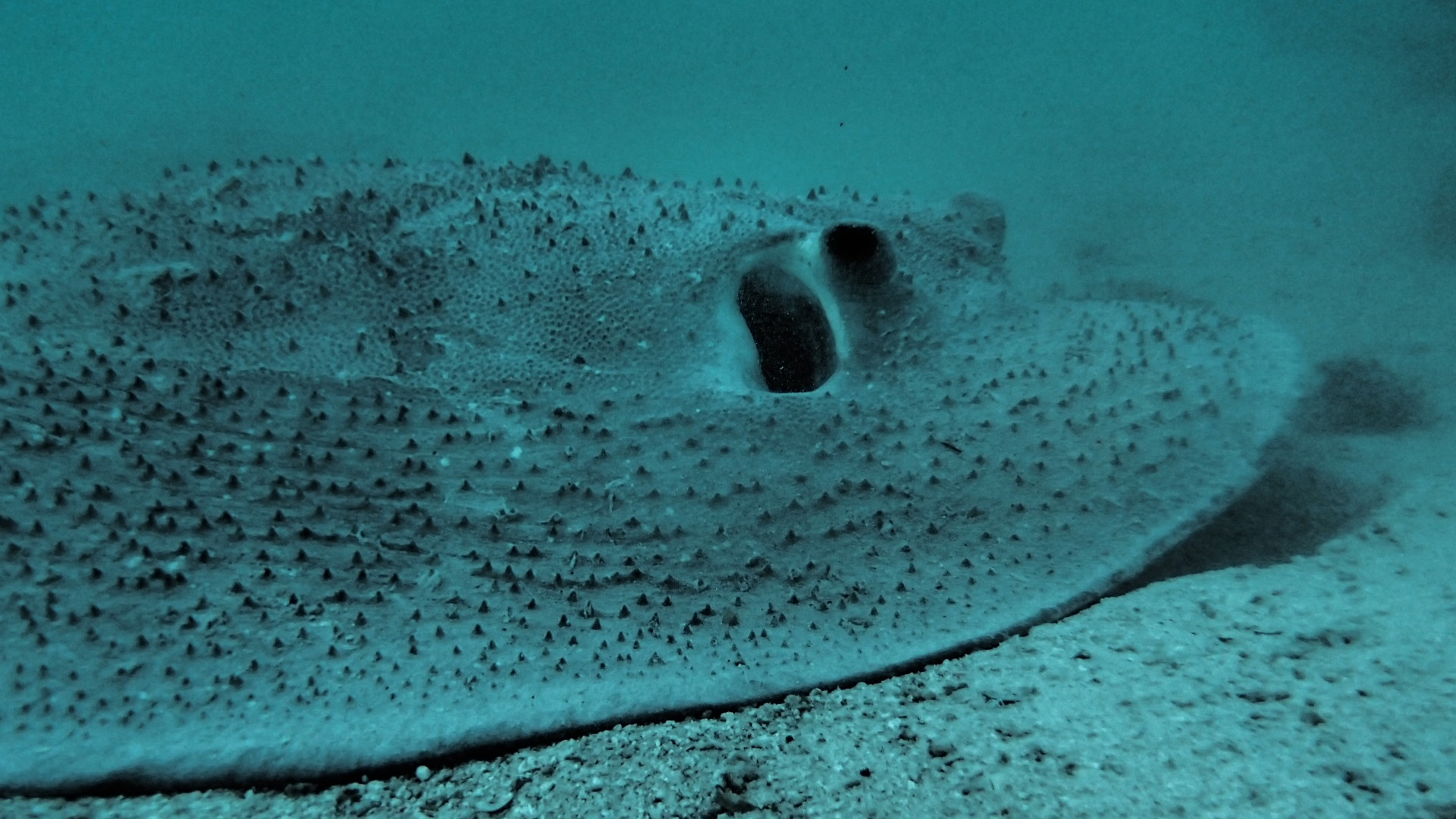 Spiky character: close-up of a porcupine ray. The spines are believed to deter predators.