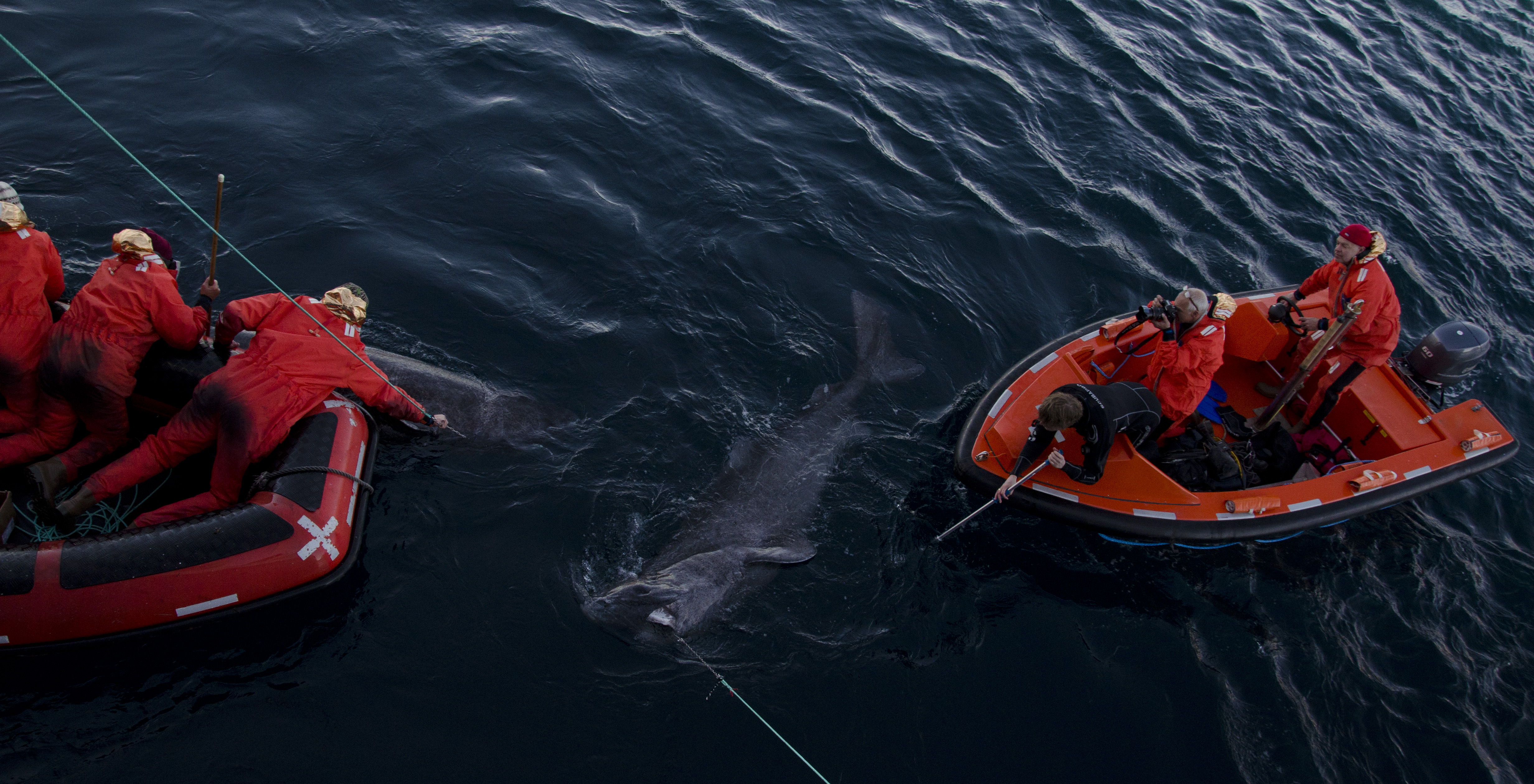Greenland sharks at the surface on a recovered long line. The sharks were caught on the bottom of the 500 m deep Ammasalik Fjord during fieldwork in 2012. Photo by: Julius Nielsen