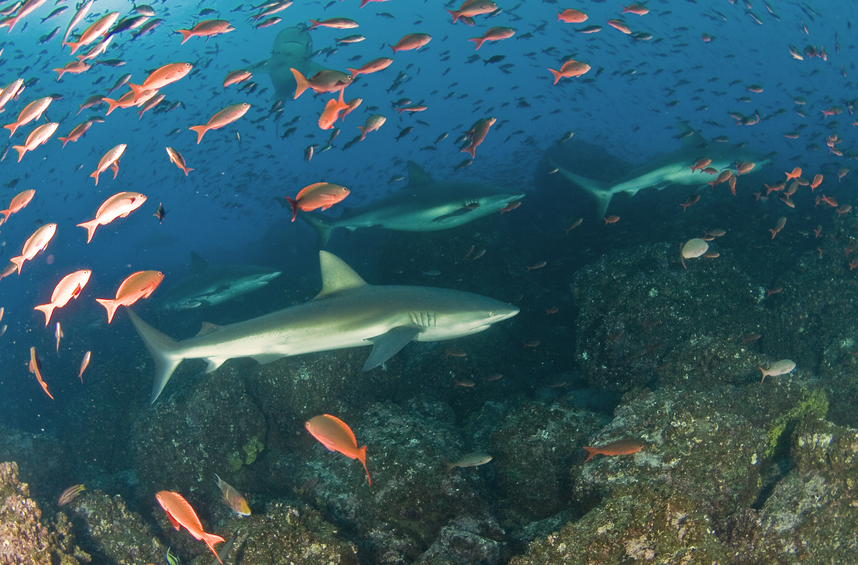 Pregnant Galapagos sharks aggregate in the archipelago they were named after. Photo by Pelayo Salinas| © Charles Darwin Foundation