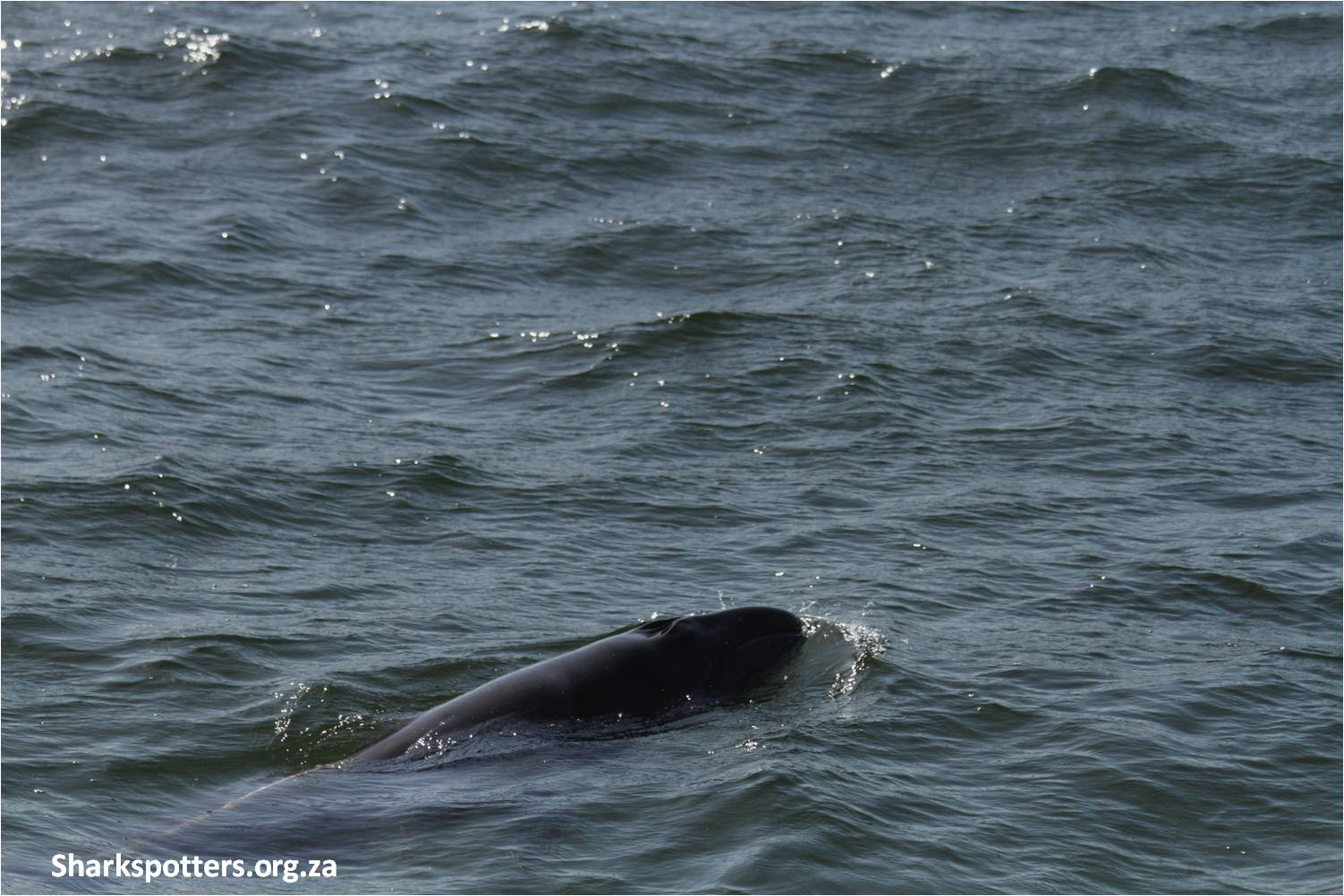 Pygmy right whale spotted in Fish Hoek bay (c) Shark Spotters