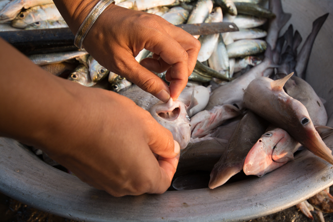 Individual scoliodon sharks may not weigh much, but every year, tons of them are sold in markets all over India. © Philippa Ehrlich | Save Our Seas Foundation