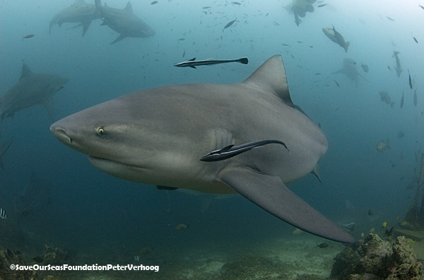 A bull shark in the Fiji Shark Reef Marine Reserve