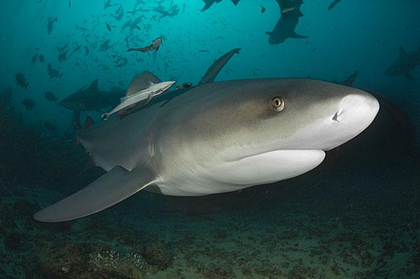 A bull shark / © Peter Verhoog/Save Our Seas Foundation