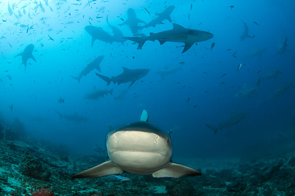 Curious Bull Shark © Save Our Seas Foundation / Peter Verhoog