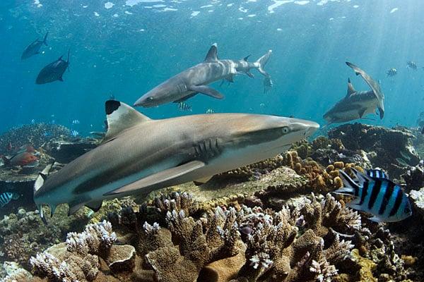 Blacktip and whitetip reef sharks © Peter Verhoog