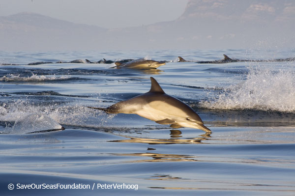 Photo by Peter Verhoog | © Save Our Seas Foundation